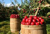 自108年7月15日起至108年11月5日止(進口日),針對紐西蘭輸入貨品分類號列「0808.10.00.00-2鮮蘋果」之產品,採逐批查驗。